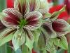 Amaryllis papilio