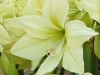 Amaryllis 'Yellow Star'