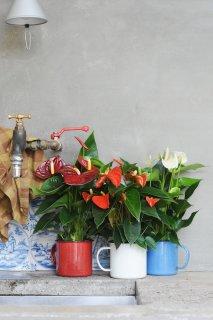 Anthurien setzen Farbakzente in der Küche