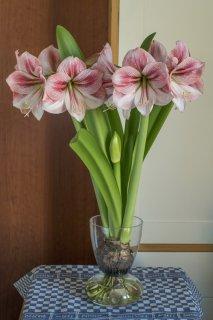 Amarylliszwiebel in Vase