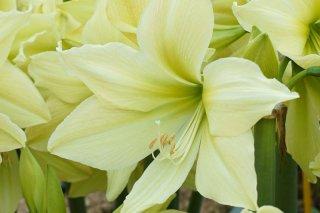 Amaryllis 'Yellow Star'