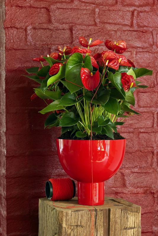 Pflegeleicht Und Farbenfroh Anthurie Ist Die Optimale Buropflanze